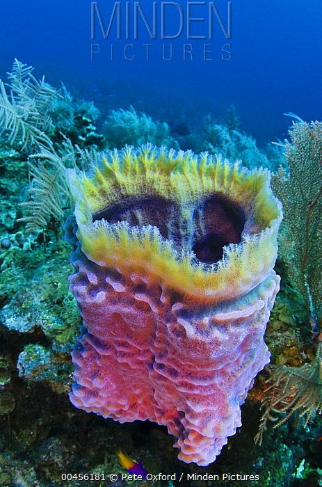 Minden Pictures Stock Photos Azure Vase Sponge Callyspongia