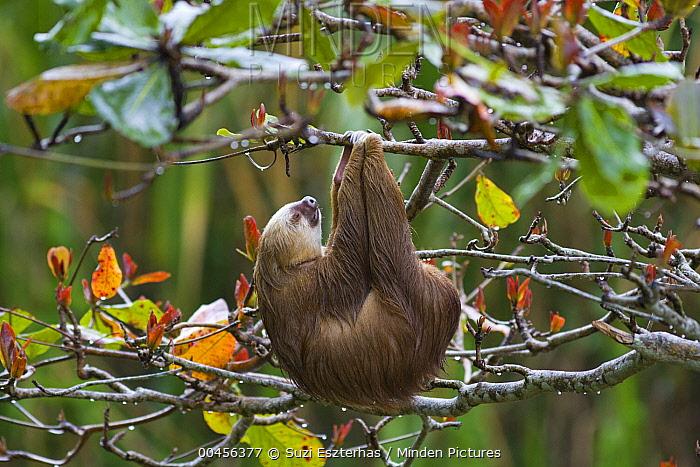 Hoffmann's Two-toed Sloth (Choloepus hoffmanni) sleeping and hanging from tree, Aviarios Sloth Sanctuary, Costa Rica  -  Suzi Eszterhas