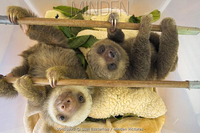 Hoffmann's Two-toed Sloth (Choloepus hoffmanni) orphaned babies, Aviarios Sloth Sanctuary, Costa Rica  -  Suzi Eszterhas