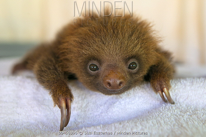 Hoffmann's Two-toed Sloth (Choloepus hoffmanni) orphaned baby, Aviarios Sloth Sanctuary, Costa Rica  -  Suzi Eszterhas