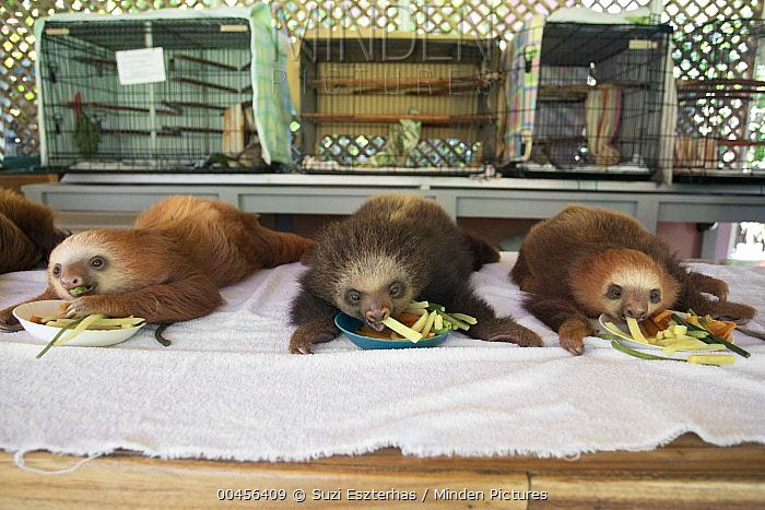 Hoffmann's Two-toed Sloth (Choloepus hoffmanni) orphaned babies feeding, Aviarios Sloth Sanctuary, Costa Rica  -  Suzi Eszterhas