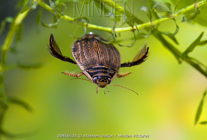 Water Beetle (Acilius sulcatus) female swimming underwater, England  -  Stephen Dalton