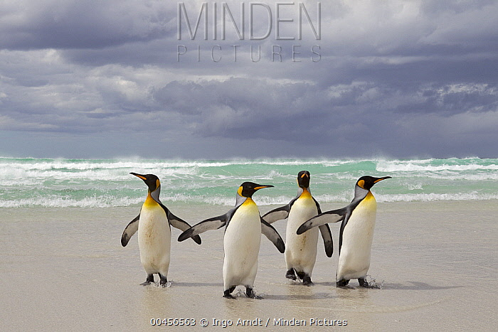 King Penguin (Aptenodytes patagonicus) group returning from the sea, Volunteer Point, Falkland Islands  -  Ingo Arndt
