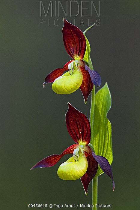 Pink Lady Slipper Orchid (Cypripedium calceolus) flowering, Austria  -  Ingo Arndt