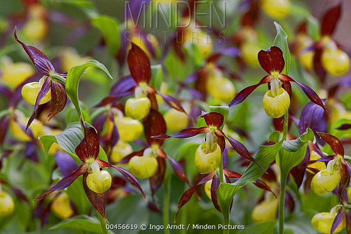 Pink Lady Slipper Orchid (Cypripedium calceolus) group flowering, Austria  -  Ingo Arndt