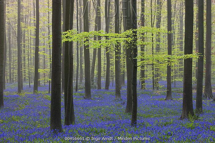 English Bluebell (Hyacinthoides nonscripta) flowering in forest, Hallerbos, Belgium  -  Ingo Arndt