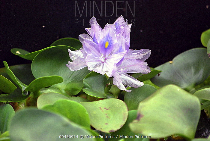 Common Water Hyacinth (Eichhornia crassipes) flower  -  VisionsPictures