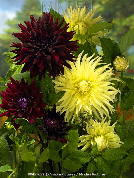 Dahlia (Dahlia sp) yellow and star variety flowers  -  VisionsPictures