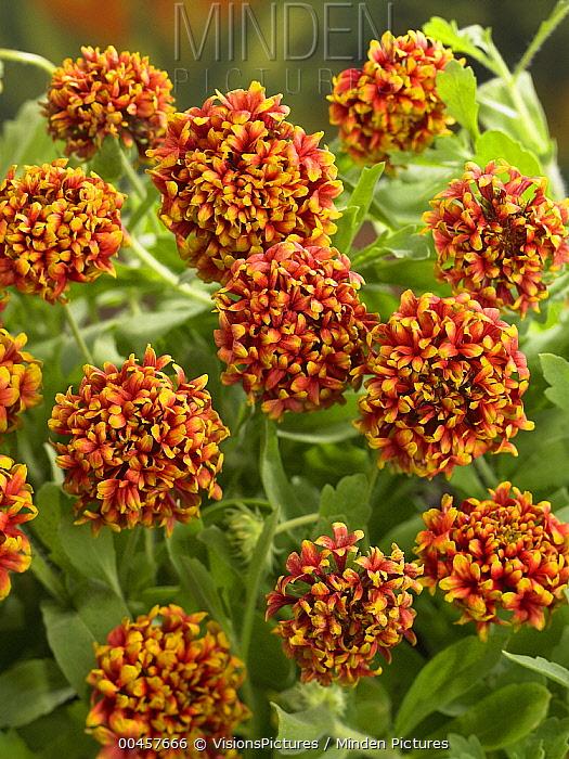 Blanketflower (Gaillardia sp) dakota reveille variety flowers  -  VisionsPictures