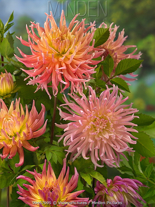 Dahlia (Dahlia sp) star elite variety flowers  -  VisionsPictures
