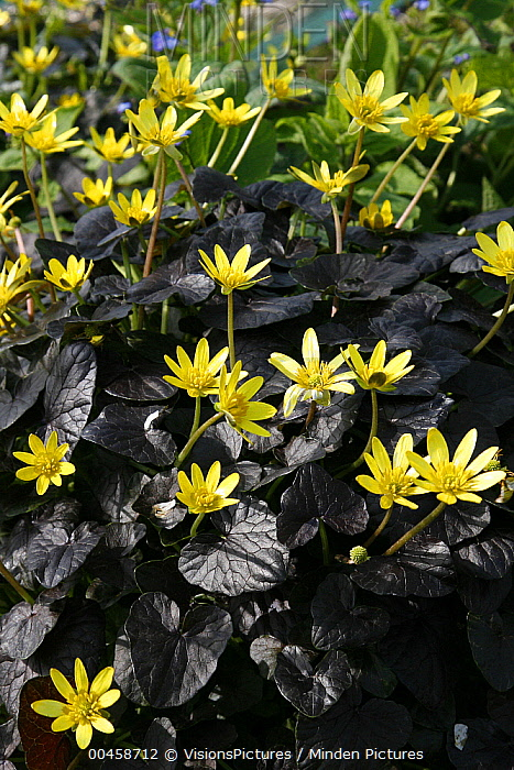 Lesser Celandine (Ranunculus ficaria) brazen hussy variety flowers  -  VisionsPictures