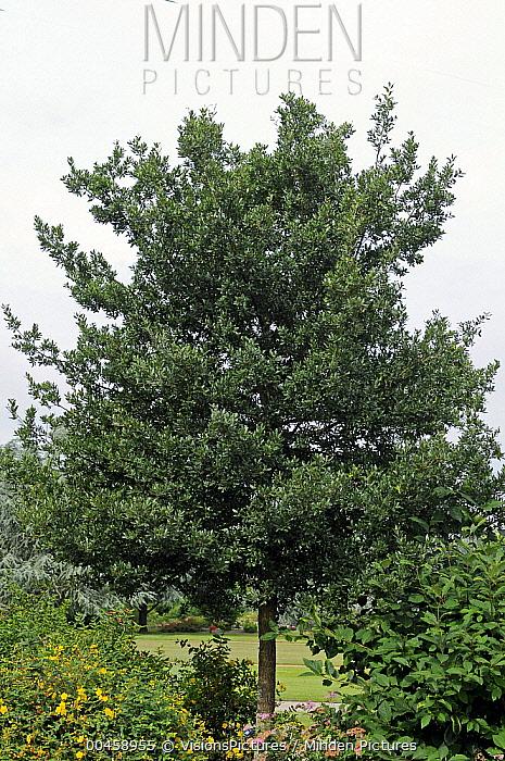 Holm Oak (Quercus ilex)  -  VisionsPictures
