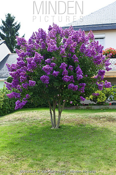 Minden pictures stock photos crape myrtle lagerstroemia for Small trees for front yard zone 5