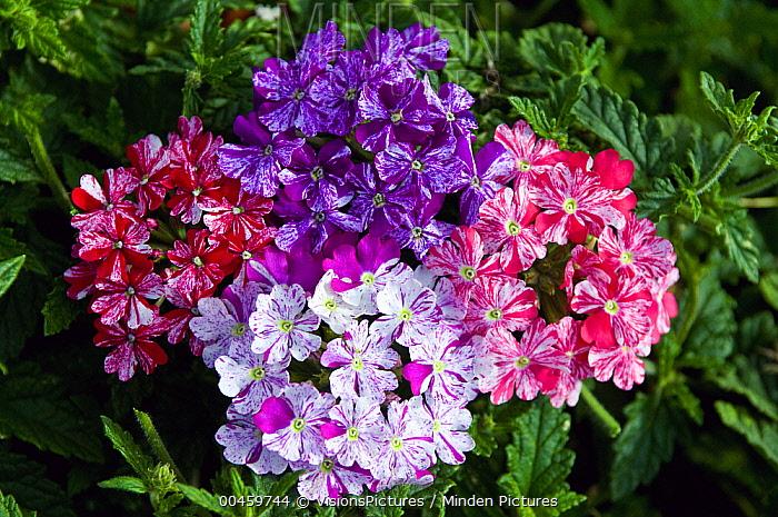 Verbena (Verbena sp) twinkle mix flowers  -  VisionsPictures