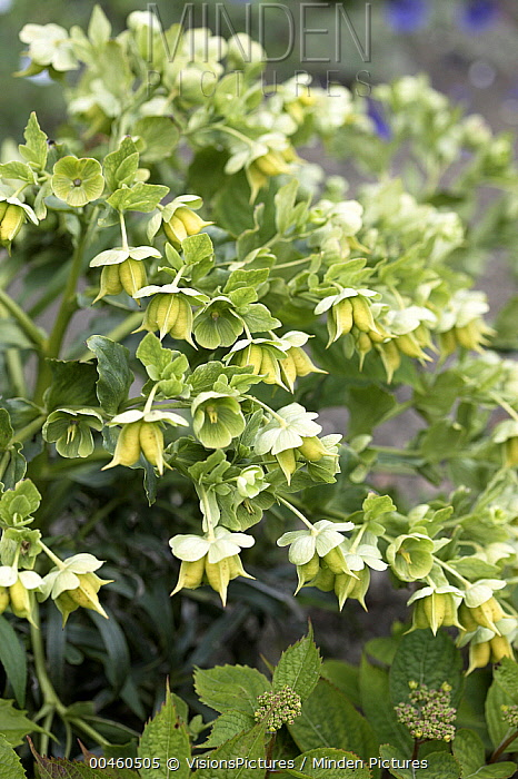 Minden Pictures Stock Photos Stinking Hellebore Helleborus