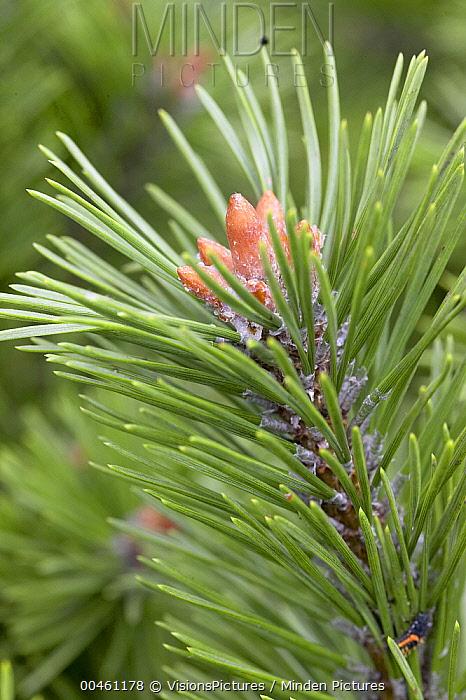 Mountain Pine (Pinus mugo) gnom variety male cones  -  VisionsPictures