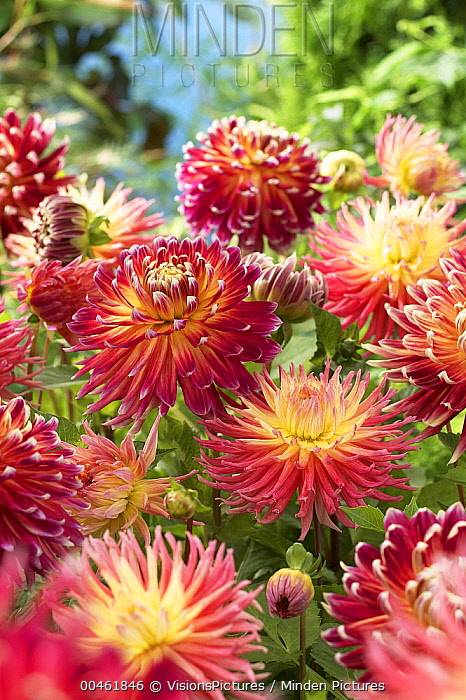 Dahlia (Dahlia sp) akita and fringed star variety flowers  -  VisionsPictures