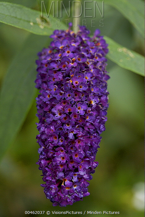 Violet Butterfly Bush (Buddleja davidii) black knight variety flower  -  VisionsPictures