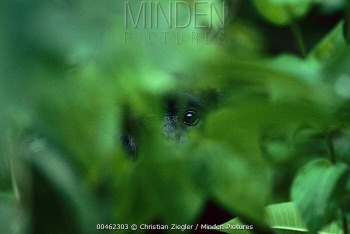 Mantled Howler Monkey (Alouatta palliata) eyes seen through vegetation, Barro Colorado Island, Panama  -  Christian Ziegler