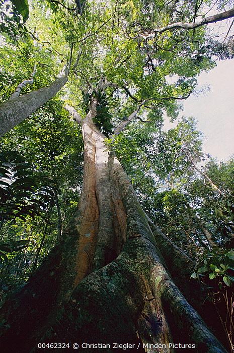 Fig (Ficus sp), Barro Colorado Island, Panama  -  Christian Ziegler