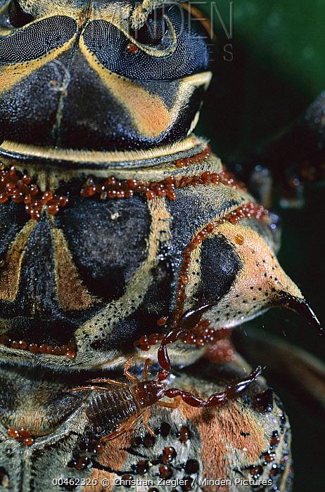 Harlequin Beetle (Acrocinus longimanus) with pseudoscorpion and an abundance of red mites, Barro Colorado Island, Panama  -  Christian Ziegler