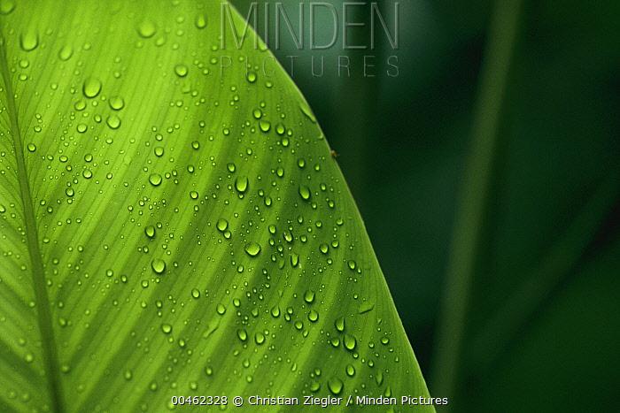 Leaf with water drops, Barro Colorado Island, Panama  -  Christian Ziegler