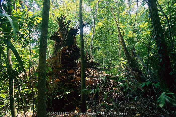 Fig (Ficus sp) that has fallen opens a space that starts race between thousands of seedlings and saplings, Barro Colorado Island, Panama  -  Christian Ziegler