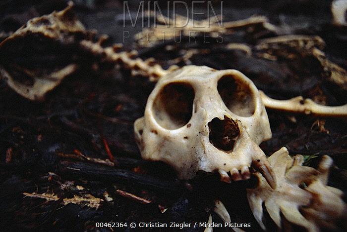 Mantled Howler Monkey (Alouatta palliata) skeleton found in dry season when fruit and new leaves are most scarce, Barro Colorado Island, Panama  -  Christian Ziegler