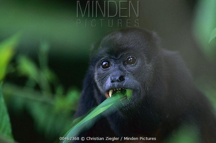 Mantled Howler Monkey (Alouatta palliata) eating leaves, Barro Colorado Island, Panama  -  Christian Ziegler