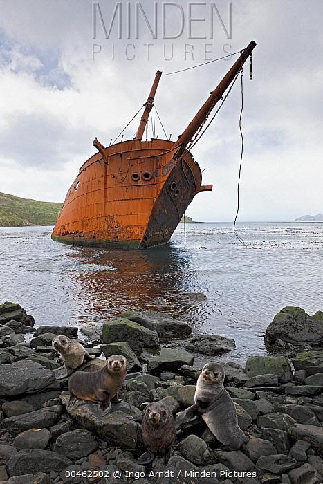 Antarctic Fur Seal (Arctocephalus gazella) pups and shipwreck, Prince Olav Harbour, South Georgia Island  -  Ingo Arndt