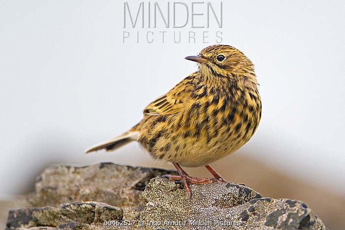 South Georgia Pipit (Anthus antarcticus), Prion Island, South Georgia Island  -  Ingo Arndt