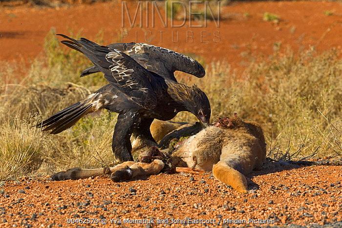 Wedge-tailed Eagle (Aquila audax) feeding on road killed Red Kangaroo (Macropus rufus) carcass in arid outback, Northern Territory, Australia  -  Yva Momatiuk & John Eastcott