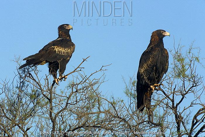 Wedge-tailed Eagle (Aquila audax) pair, Northern Territory, Australia  -  Yva Momatiuk & John Eastcott