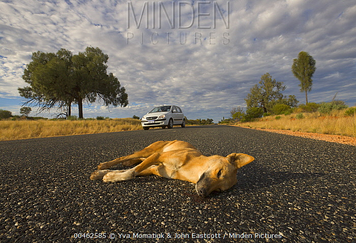Dingo (Canis lupus dingo) roadkill, Northern Territory, Australia  -  Yva Momatiuk & John Eastcott