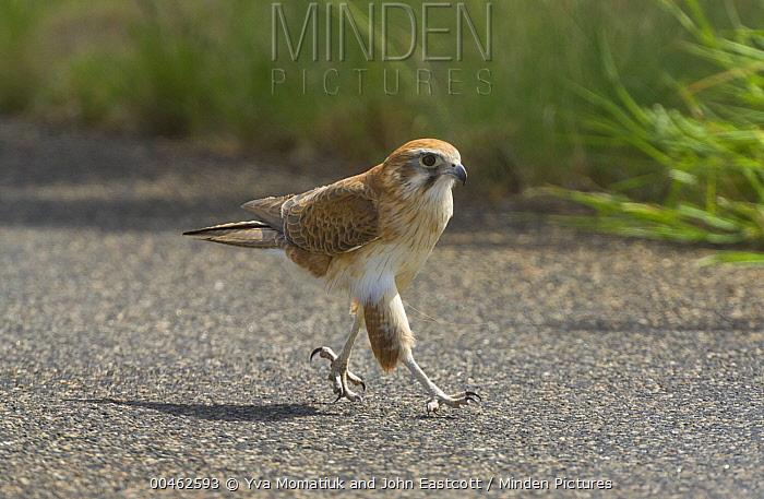 Australian Kestrel (Falco cenchroides) walking on road, West MacDonnell National Park, Northern Territory, Australia  -  Yva Momatiuk & John Eastcott