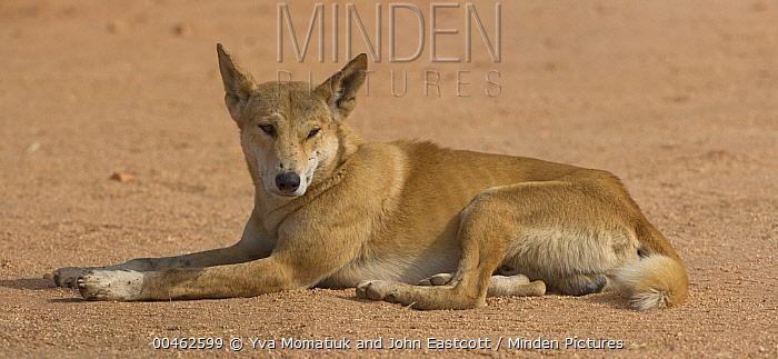 Dingo (Canis lupus dingo) resting, Devils Marbles Conservation Reserve, Northern Territory, Australia  -  Yva Momatiuk & John Eastcott