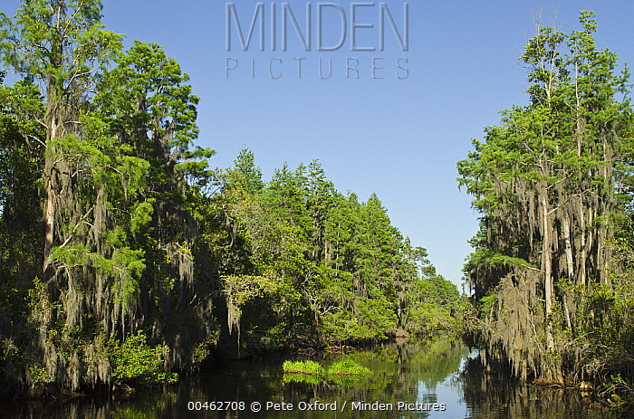 Bald Cypress (Taxodium distichum) trees lining the Suwannee Canal, Okefenokee National Wildlife Refuge, Florida  -  Pete Oxford