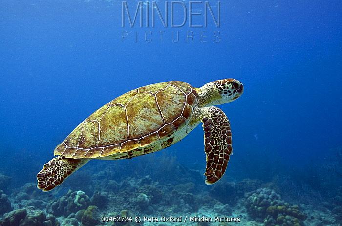 Green Sea Turtle (Chelonia mydas), Bonaire, Netherlands Antilles, Caribbean  -  Pete Oxford