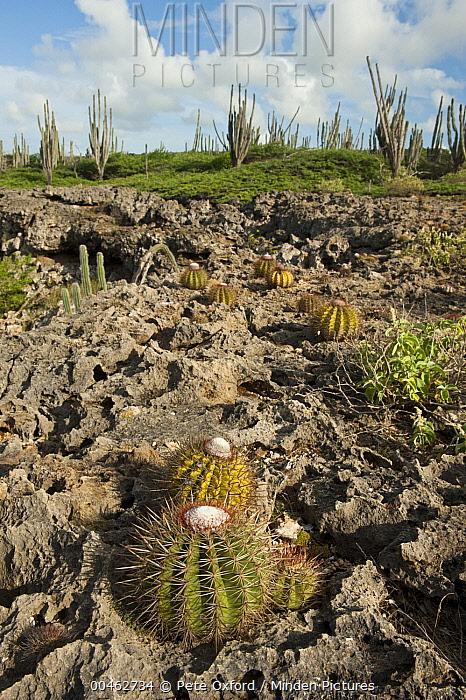 Turk's Cap Cactus (Melocactus intortus) with flower bud, Washington Slagbaai National Park, Bonaire, Netherlands Antilles, Caribbean  -  Pete Oxford