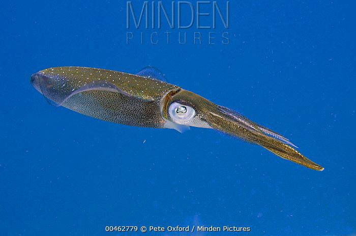 Caribbean Reef Squid (Sepioteuthis sepioidea), Bonaire, Netherlands Antilles, Caribbean  -  Pete Oxford