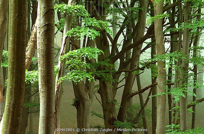 Beech (Fagus sp) old-growth forest, northern Europe  -  Christian Ziegler