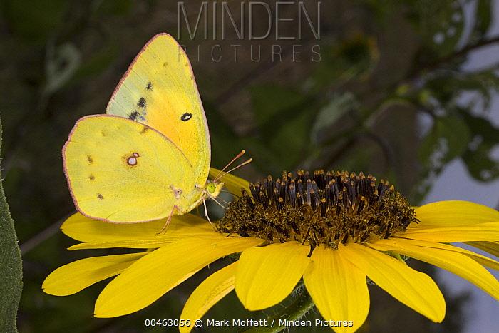 Pierid Butterfly (Phoebis sp) feeding on sunflower nectar, Sonoita, Arizona  -  Mark Moffett