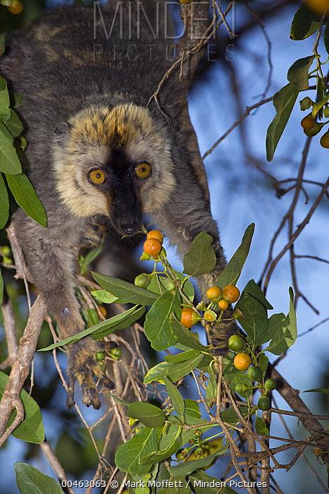 Common Brown Lemur (Eulemur fulvus) eating fruit, Berenty, Madagascar  -  Mark Moffett