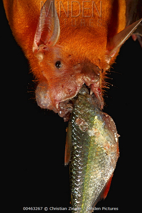 Greater Bulldog Bat (Noctilio leporinus) feeding on a small fish, Smithsonian Tropical Research Station, Barro Colorado Island, Panama  -  Christian Ziegler