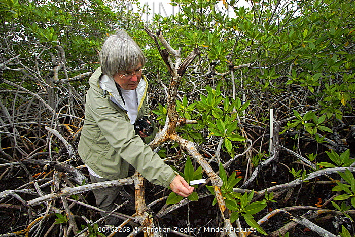 Red Mangrove (Rhizophora mangle) researcher Dr. Ilka Feller censusing long term observation plots, Twin Cays, Carrie Bow Cay, Belize  -  Christian Ziegler