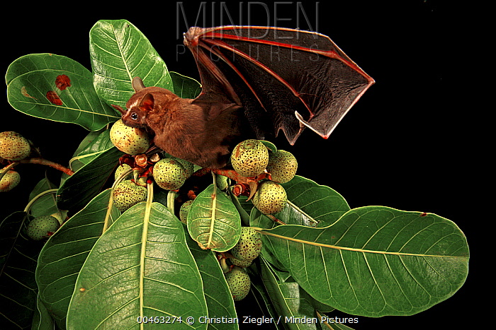 Great Fruit-eating Bat (Artibeus lituratus) feeding on fig, Smithsonian Tropical Research Station, Barro Colorado Island, Panama  -  Christian Ziegler