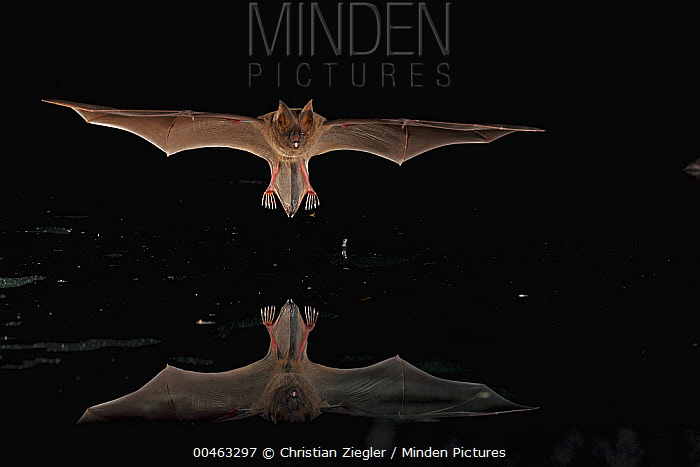 Long-legged Bat (Macrophyllum macrophyllum) flying over water surface looking for dead and drowning insects, Smithsonian Tropical Research Station, Barro Colorado Island, Panama  -  Christian Ziegler