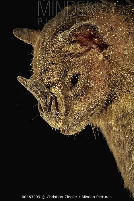 Jamaican Fruit-eating Bat (Artibeus jamaicensis) dusted in pollen, Smithsonian Tropical Research Station, Barro Colorado Island, Panama  -  Christian Ziegler