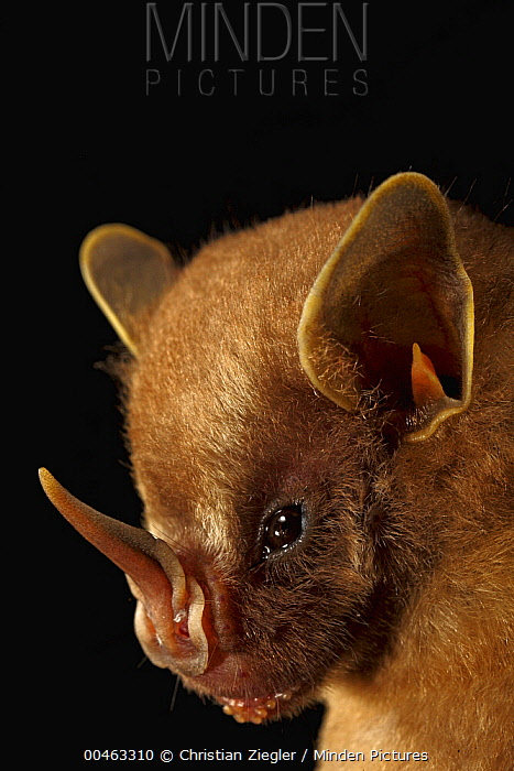 Thomas's Fruit-eating Bat (Artibeus watsoni)face, Smithsonian Tropical Research Station, Barro Colorado Island, Panama  -  Christian Ziegler