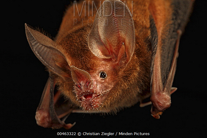 Fringe-lipped Bat (Trachops cirrhosus) roosting, Smithsonian Tropical Research Station, Barro Colorado Island, Panama  -  Christian Ziegler
